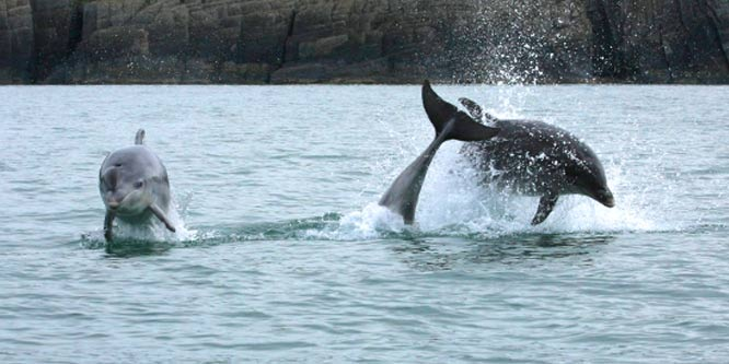 bottlenose dolphins taken off Mwnt